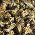 Как лечить варикоз на ногах пчелиным подмором?